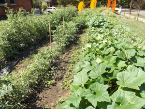 Urban garden nears harvest.