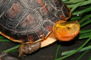 The Chinese Box Turtle is a threatened Chinese species.