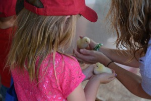 Two Ag Expo visitors examine baby chicks at Ag Expo.