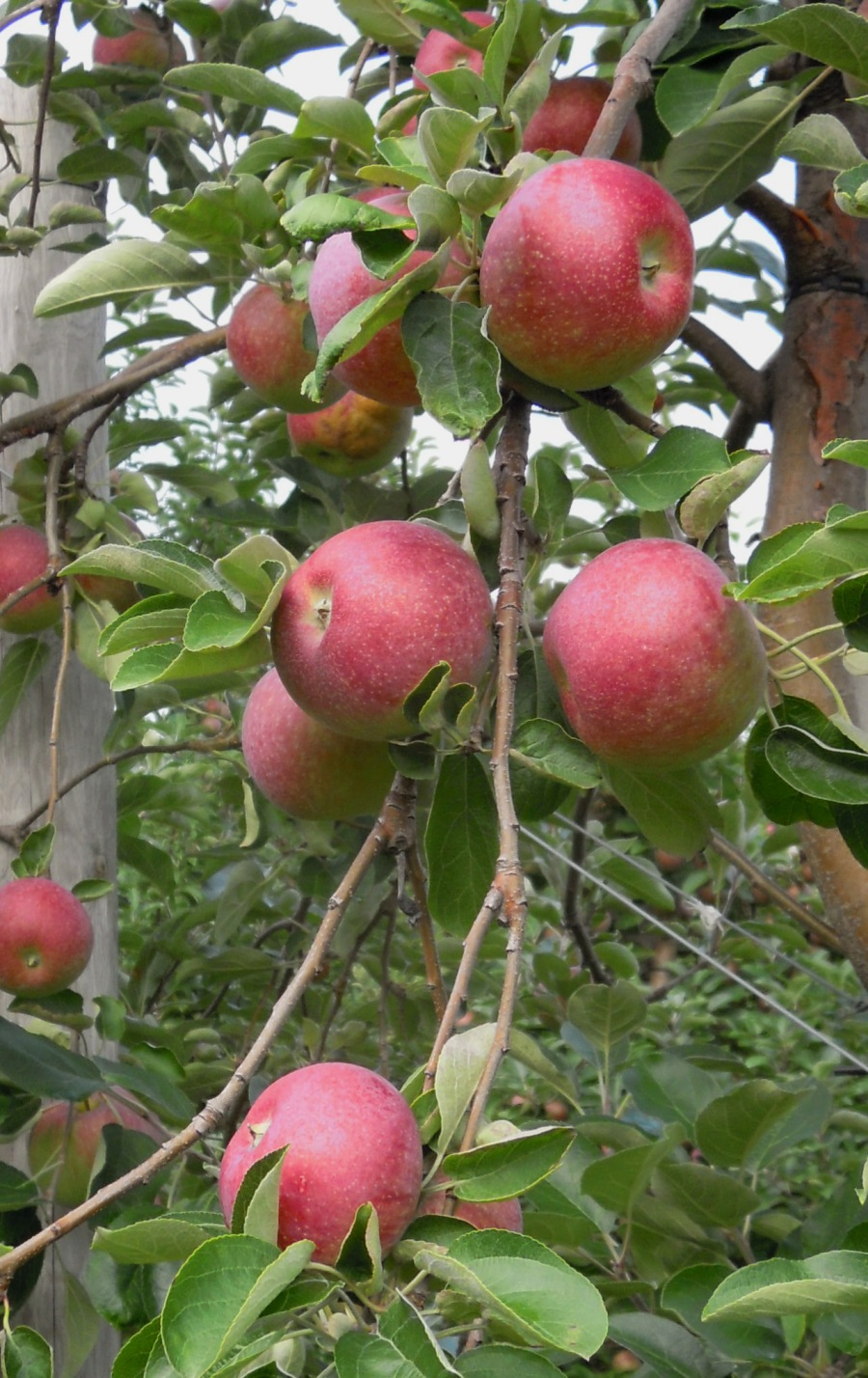 Red apples on a branch.