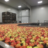 Michigan Apples in a processing facility.