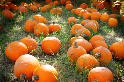 Pumpkins in a field.