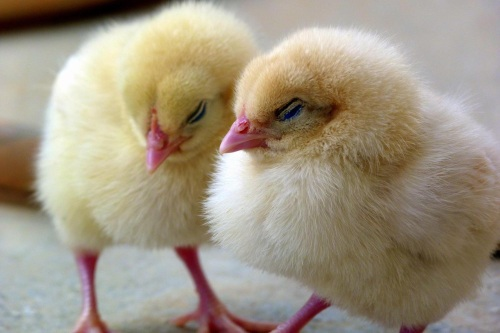 Two baby chicks huddle together.